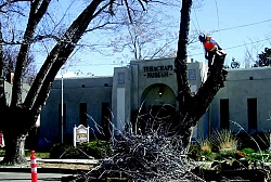 A worker from Chriso's Tree Service works on removing rotten tree limbs from the trees at the Tehachapi Museum.